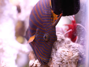 faqs about the undulated triggerfish behavior
